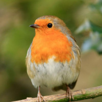 Robin, Mealworms, Wheat Free mix - Robin perched on a branch