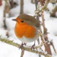 Stunning Robin by Greg Laver