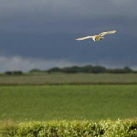 Shropshire Barn Owl by Jill Barrow - Hunting to feed new chicks