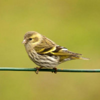Siskin, High Energy No Mess Mix - A Siskin resting on a wire fence