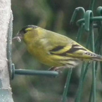 Siskin by Glyn Jones - As Glyn's caption said - Siskins love sunflower hearts!