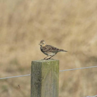 Skylark - Male Skylark on the lookout