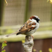 Sparrow - Standard Mix - A House Sparrow on lookout duty