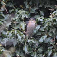Sparrow Hawk by Will Hare - He's in there somewhere!