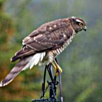 Female Sparrowhawk by Glyn Jones - Another contribution from Glyn at Lockley Wood. Also recently at BBF HQ