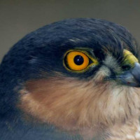Sparrowhawk by G Jones - A beautiful close up