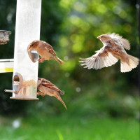 Sparrows in flight by Will Hare - Sparrows eat Winter mix wild bird food