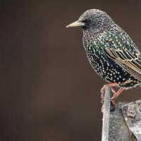 Starling by Jason Ridge
