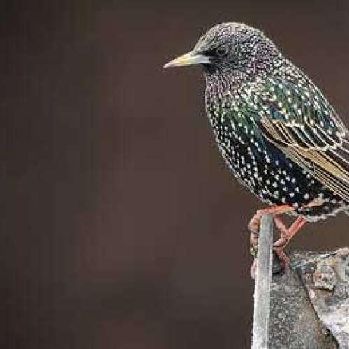 Starling by Jason Ridge