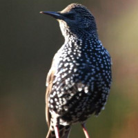 Starling by Margaret Clifford - Starlings eat suet pellets from British Bird Food