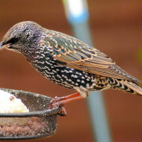 Starling by Barry Woodhouse - Starlings eat suet pellets