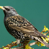 Starling - Suet balls and blocks - I spy with my little eye......