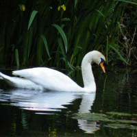 Swan by Mike and Brenda - A Swan on the Bearcroft pool taken by Mike and Brenda Thomason