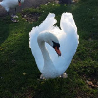 Swans in Apex park by Pauline Russell
