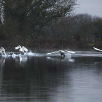 Swans in Flight by Jill Barrow - Time for take off!!
