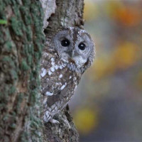 Tawny Owl - Feeders and Accessories - I spy..........
