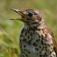 Thrush - Blackbird and Thrush Food - Song Thrush in fine voice