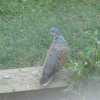 Turtle Dove by Eddie Sibley - Even Doves love big bird food!