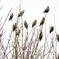 Waxwings by Matt Pollock - Wild birds eat high energy seed from British Bird Food