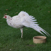 White Cock Pheasant by Catherine Webster - I am quite happy to dance for my supper!