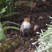 White Robin by Glyn Jones - Robin and Tit food is loved by all Robins.