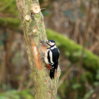 Woodpecker - Suet Balls and Peanuts - Great Spotted Woodpecker Thinking about setting up home