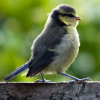 Young Blue Tit by Roy HIll - Loves Robin and Tit food with mealworms