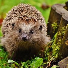 It's Hedgehog time again!