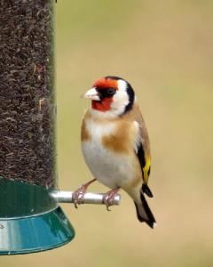 A Goldfinch eating Niger seeds